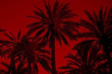 Le palme di Elce vicino Alicante