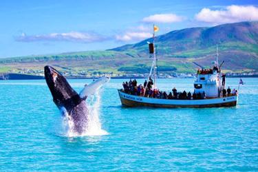 Whales Watching a Reykjavík